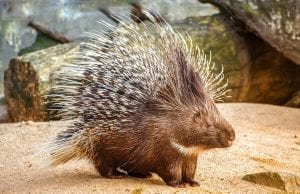 facts about porcupines