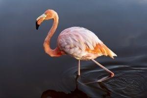 interesting facts on Flamingos
