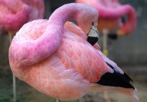 facts about the flamingo