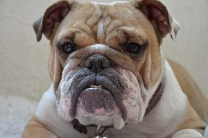 fun facts about british bulldog