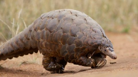 fun facts about pangolins