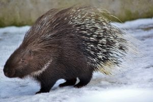 fun facts about porcupines