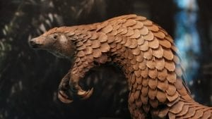 interesting facts about pangolins