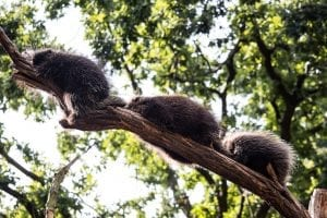interesting porcupine facts
