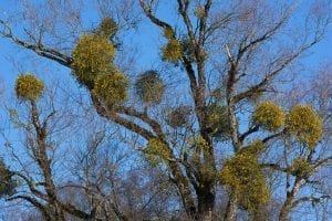 facts about mistletoe