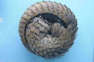 pangolin facts