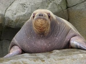 Fun Facts about Walruses