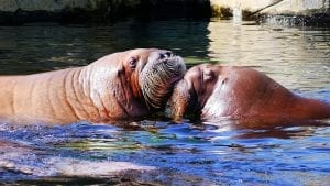 interesting facts about the walrus