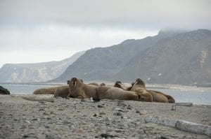Fun Facts about Walrus