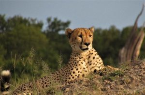 Cheetah in wildlife reserve, Zimbabwe