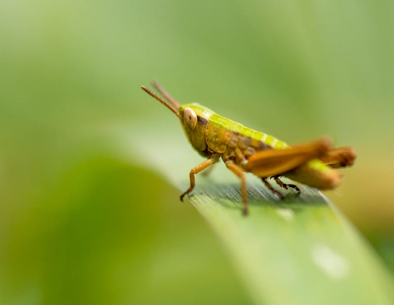facts about grasshoppers 2