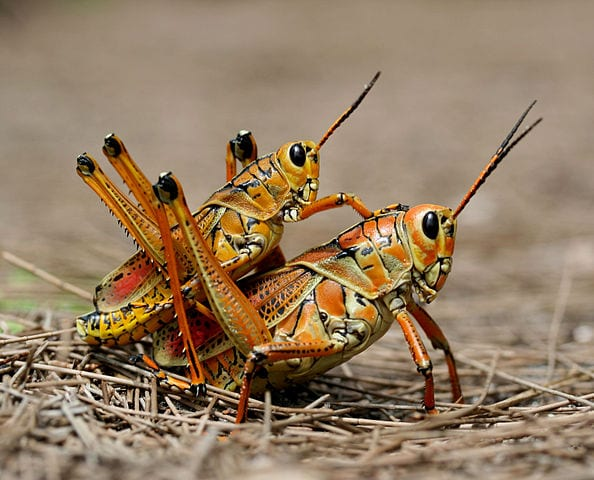 facts about grasshoppers