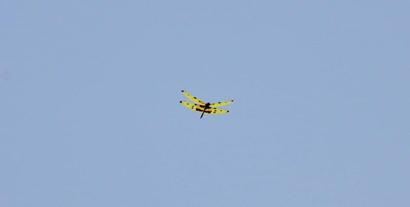 a flying grasshopper