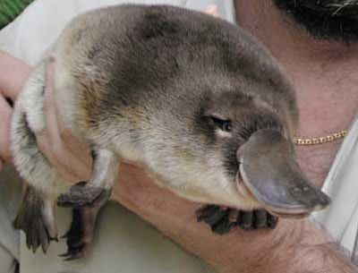 facts about platypuses
