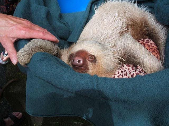 facts about sloths