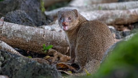 facts about the mongoose