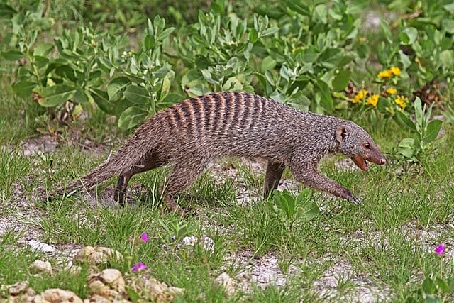 facts about the mongoose 2