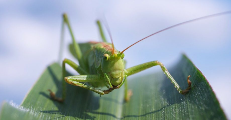 Head on view of a grasshopper