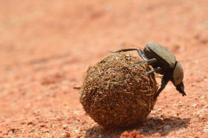 Dung beetle with his hands full