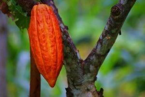 Cacoa Pod on the tree