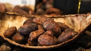The Cacao Bean
