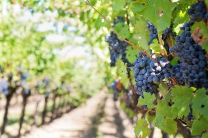 Grapes growing on the vine, Napa Valley, California