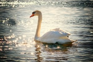 A swan on a river