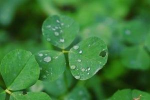 A Three leafed clover, or shamrock.