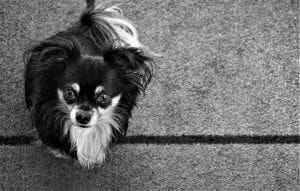 small dog looking up, begging
