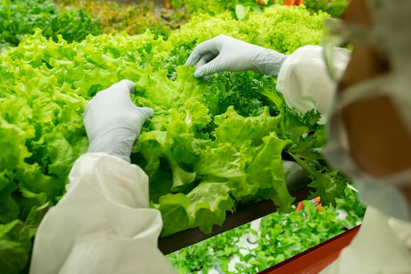 Gloved hands of worker of contemporary vertical farm over lettuce seedlings