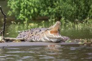 Fun facts about crocodiles