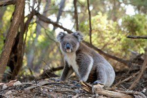 Marsupial - Koala Bear