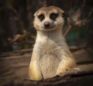 adorable looking meerkat