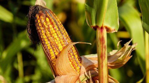 fresh corn in the field